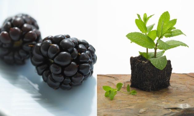 blackberrymint