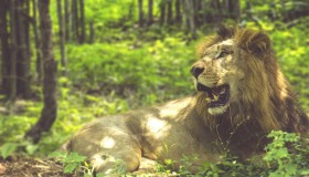 Lion Sitting In Forest