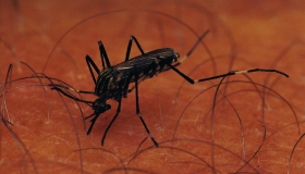 Aedes species, South Africa